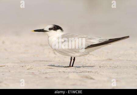 Sandwich Tern (Thalasseus sandvicensis) - Fort Desoto State Park, Florida - Stock Photo