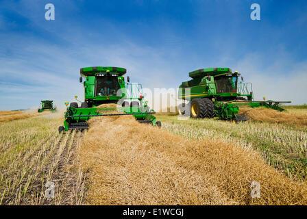 combine harvesters work in a swathed canola field, near Kamsack, Saskatchewan, Canada - Stock Photo