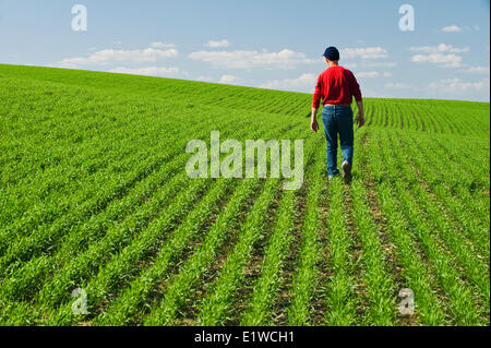 a farmer scouts an early growth spring wheat field, Tiger Hills,, Manitoba, Canada - Stock Photo