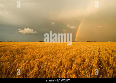 Mature winter wheat field and a rainbow in the sky, near Landmark, Manitoba, Canada - Stock Photo