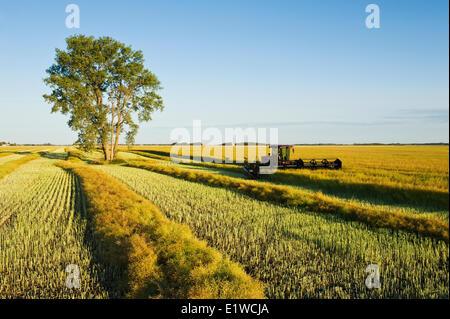 swathing canola, cottonwood tree in the distance,  near Lorette, Manitoba, Canada - Stock Photo