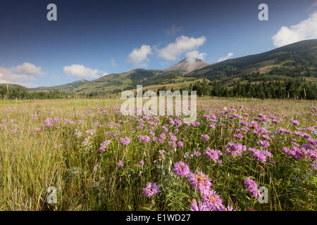 Wild Bergamot (Monarda fistulosa) other native wildflowers with a mountain backdrop in Waterton Lakes National Park - Stock Photo