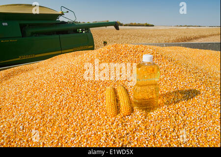grain/feed corn and  corn oil in harvested corn - Stock Photo