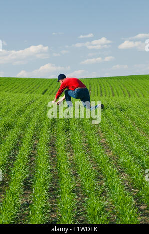 a farmer scouts an early growth spring wheat field for weeds and disease, Tiger Hills,, Manitoba, Canada - Stock Photo
