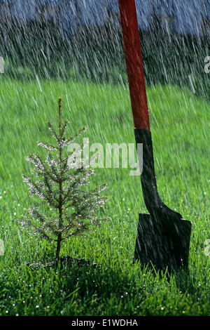 newly planted spruce tree next to shovel in the rain, Winnipeg, Manitoba, Canada - Stock Photo