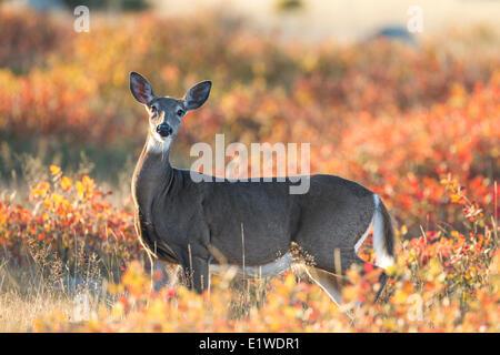 Female White-tailed Deer (Odocoileus virginianus) and Autumn foliage, Barrie Island, Manitoulin Island, Ontario, - Stock Photo