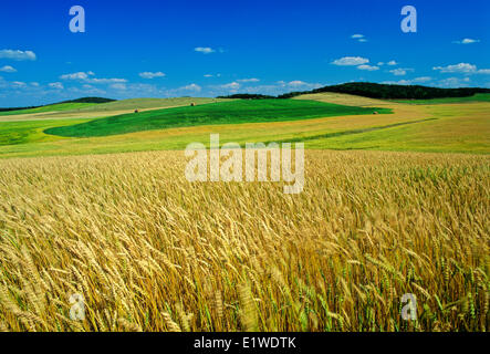 maturing spring wheat field with alfalfa fields in the distance, Tiger Hills, Manitoba, Canada - Stock Photo