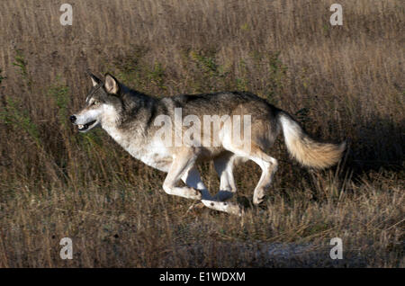 Timber or Gray wolf (Canis lupus) running in tall dried grass with low light; Minnesota; North America United States - Stock Photo