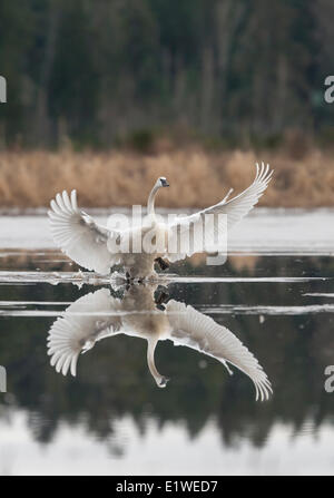 A Trumpeter Swan flare's his wings during a landing on water near Sieffert's Farm in Comox.  Comox The Comox Valley - Stock Photo