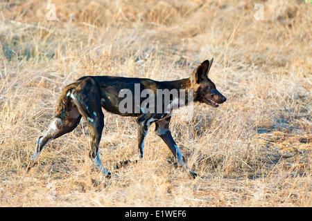 African wild dog (Lycaon pictus) hunting, Samburu National Park, Kenya, East Africa - Stock Photo