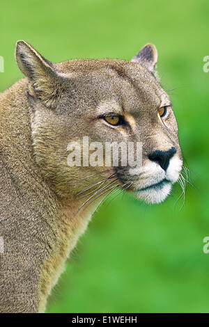 Andean puma (Felis concolor), Torres del Paine National Park, southern Patagonia, Chile - Stock Photo