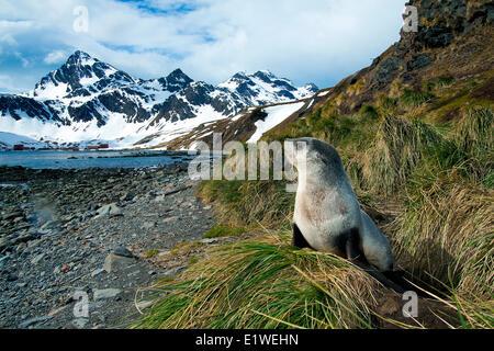 Juvenile Antarctic fur seal (Arctocephalus gazella), Island of South Georgia, Antarctica - Stock Photo