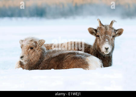 Bighorn sheep, ewe and lamb (Ovis canadensis), with frost-covered muzzles at -28C, Jasper National Park, Alberta, - Stock Photo