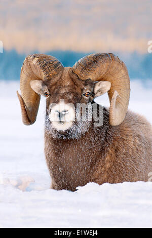 Bighorn sheep ram (Ovis canadensis), with frost-covered muzzle at -28C, Jasper National Park, Alberta, Canada - Stock Photo