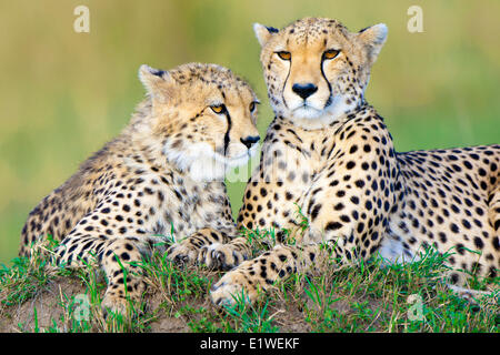 Mother cheetah (Acinonyx jubatus) yearling offspring resting on a termite mound Masai Mara Game Reserve Kenya East - Stock Photo