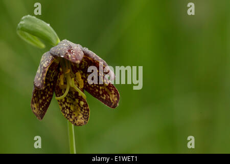 Chocolate Lily, Duncan, British Columbia. - Stock Photo