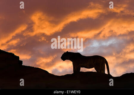 Leopard (Panthera pardus), Masai Mara Game Reserve, Kenya, East Africa - Stock Photo