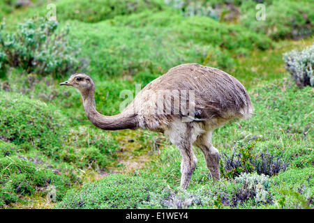 Lesser rhea (Rhea pennata), Torres del Paine National Park, southern Patagonia, Chile - Stock Photo
