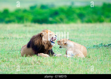 Mating lions (Panthera leo), Masai Mara Game Reserve, Kenya, East Africa - Stock Photo
