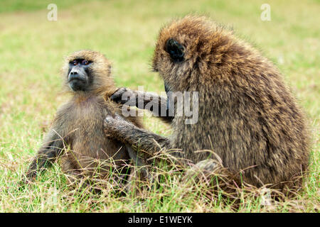 Olive baboons (papio anubis) grooming each other, Kenya, East Africa - Stock Photo
