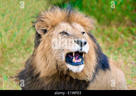 Snarling male African lion (Panthera leo), Masai Mara Game Reserve, Kenya, East Africa - Stock Photo