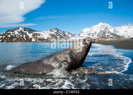 Southern elephant seal (Mirounga leonina) bull coming ashore, St. Andrews Bay, Island of South Georgia, Antarctica - Stock Photo