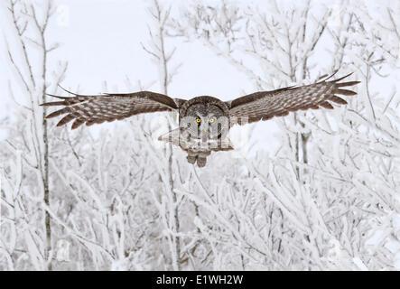 Great Gray Owl, Strix nebulosa, in flight at the Nisbet Forest, Saskatchewan, Canada - Stock Photo