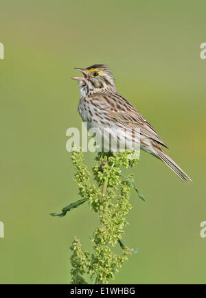 A Savannah Sparrow, Passerculus sandwichensis, sings from a wildlfower near Saskatoon, Saskatchewam - Stock Photo