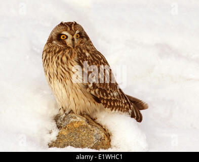Short-eared Owl, Asio flammeus,  sat in the snow, at Gardiner Dam, Saskatchewan - Stock Photo