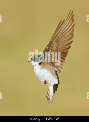Tree Swallow, Tachycineta bicolor, hovering in Saskatchewan, Canada - Stock Photo