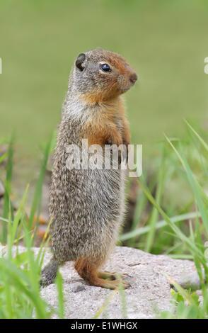Columbian ground squirrel (Urocitellus columbianus) at its burrow at Jasper National Park, Alberta - Stock Photo