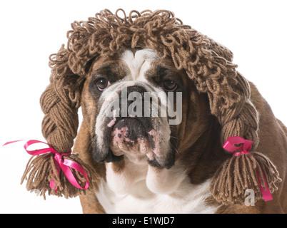 female dog wearing wig - english bulldog - Stock Photo