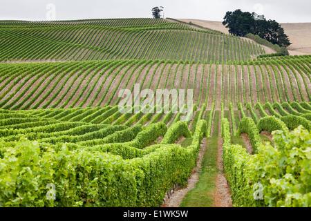 Vineyards in Marlborough Region on the South Island of New Zealand - Stock Photo