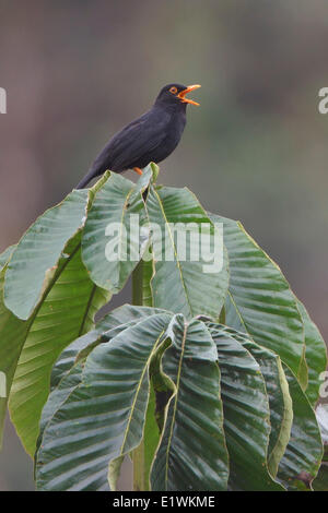Glossy-black Thrush (Turdus serranus) perched on a leaf in Ecuador, South America. - Stock Photo