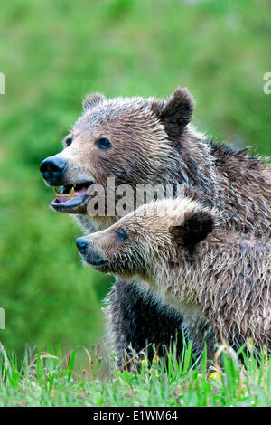 Mother grizzly bear (Ursus arctos) and yearling cub, Rocky Mountain foothills, western Alberta, Canada - Stock Photo