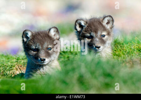 Arctic fox pups (Alipex lagopus) at the mouth of their natal den, Victoria Island, Nunavut, Arctic Canada - Stock Photo