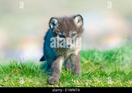Arctic fox pup (Alipex lagopus) at the mouth of its natal den, Victoria Island, Nunavut, Arctic Canada - Stock Photo