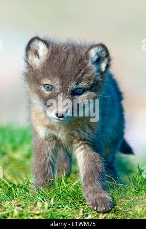 Arctic fox pup (Alipex lagopus) at the mouth of its natal den, Victoria Island, Nunavut, Arctic Canada - Stock Photo