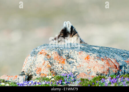 Arctic fox (Alipex lagopus) in transitional summer pelage, Victoria Island, Nunavut, Arctic Canada - Stock Photo