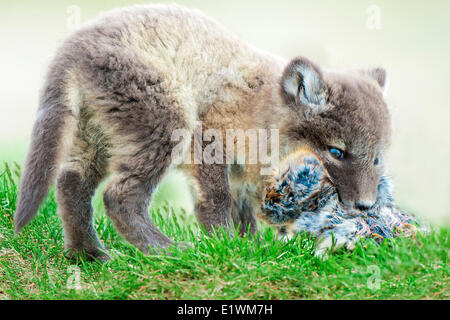 Arctic fox pup (Alipex lagopus) with five lemmings stuffed in its mouth at the mouth its natal den Victoria Island - Stock Photo