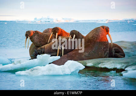 Pacific Walrus, Odobenus rosmarus, haul out on sea ice Canadian Arctic, - Stock Photo