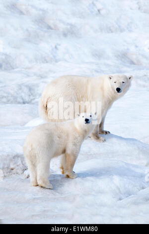 Polar bear mother (Ursus maritimus) and cub, Wrangel Island, Chukchi Sea, Arctic Russia - Stock Photo