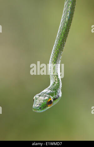 Snake perched on a branch in Costa Rica, Central America. - Stock Photo