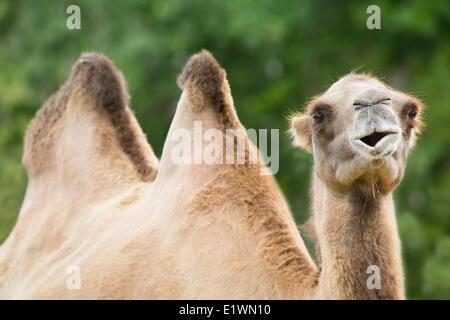 Bactrian Camel, Assiniboine Park Zoo, Winnipeg, Manitoba, Canada - Stock Photo