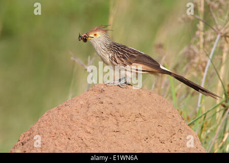 Guira Cuckoo (Guira guira) perched on the ground in Bolivia, South America. - Stock Photo