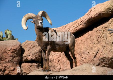 Desert Bighorn Sheep, Ram, captive, Sonoran Desert Museum, Arizona. (Ovis canadensis nelsoni). - Stock Photo