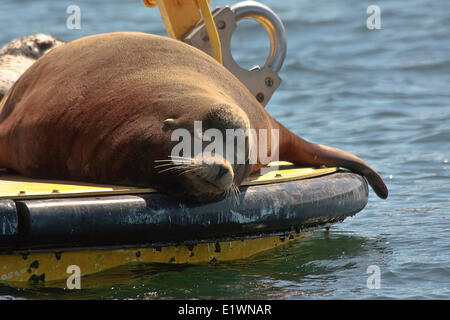 Steller Sea Lion sleeping on a Navy Oceanographic Meteorological Automatic Device (NOMAD) buoy which collects data - Stock Photo