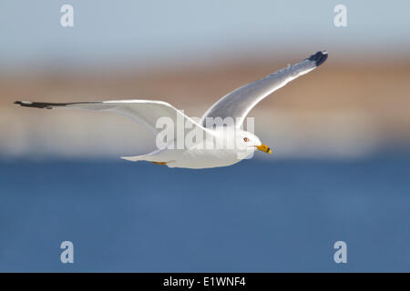 Herring Gull (Larus argentatus) flying in Churchill, Manitoba, Canada. - Stock Photo