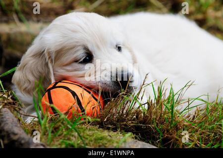 Purebred English Golden Retriever puppy resting on a soft orange ball. - Stock Photo