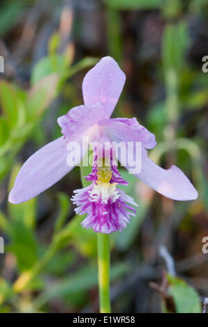 Rose Pogonia (Pogonia ophioglossoides) an orchid is also called Snake Mouth or Goldcrest in Kouchibouguac National Park New
